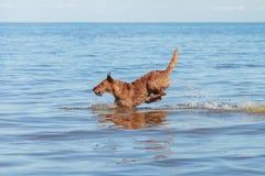 Iers Terrier die in het water springen Royalty-vrije Stock Afbeelding