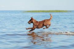 Iers Terrier die in het water springen Stock Fotografie