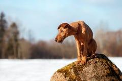 Iers Terrier zit op een rots in een bos Stock Foto's