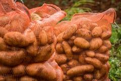 Ierse die aardappels in zakken op het landbouwbedrijf worden ingepakt stock foto's