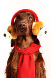 De Ierse Rode hond van de Zetter in de hoed Stock Foto