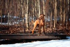 Ierse Terrier-tribunes op een brug op een achtergrond van bomen Stock Afbeelding