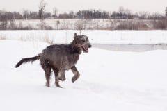 Ierse wolfshond stock fotografie
