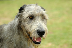 Ierse Wolfshond Royalty-vrije Stock Foto's