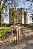 Ierse wolfshond bij kasteel Bunratty Stock Fotografie