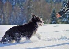 Ierse wolfshond, openlucht in diepe sneeuw, een menselijke hand die uit voor hem bereiken stock fotografie