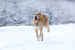 Ierse wolfshondhond Stock Foto