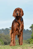 Ierse Zetterhond Royalty-vrije Stock Afbeeldingen