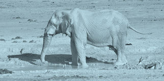 Iew of an elephant covered in white mud. View of an elephant covered in white mud Etosha National Park Namibia Africa. Etosha's elephants number about royalty free stock images