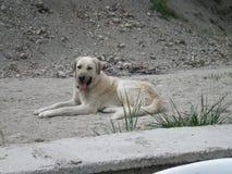 or if camouflaged dog Stock Image