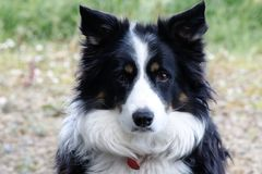 If only they could talk. Our beautiful rescued black and white Collie dog, Lassie. If only she could talk Stock Photo