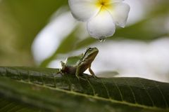 If I could just reach. Image of a small green tree frog looking at a water drop on a frangipani flower Royalty Free Stock Image