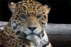If Looks Could Kill. Beautiful closeup of a Spotted Jaguar staring at the camera Royalty Free Stock Image