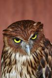 If Looks Could Kill. An owl seems to be staring angrily at the camera (shallow depth of field Royalty Free Stock Photos