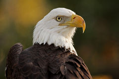 If Looks Could Kill. Closeup of a beautiful Bald Eagle against a blurred background Stock Photography