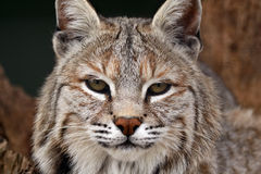 If Looks Could Kill. Closeup of a Bobcat against a blurred background Stock Photos
