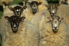 If sheep watched tennis. Sheep lined up and all looking straight ahead royalty free stock image
