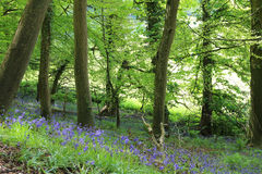 If You Go Down To The Woods Today. Bluebells in flower in ancient Bluebell Woods in Somerset, UK Royalty Free Stock Photo
