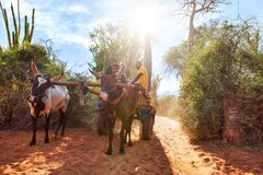 Free Ifaty, Madagascar - May 01, 2019: Wooden Cart Pulled By Zebu Cattle With Unknown Malagasy Men Going Near Baobab, Octopus Trees, Royalty Free Stock Photo - 192296445