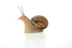 ifrågasatt snail Royaltyfri Foto