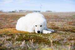 ig biały puszysty psi lying on the beach na mech i patrzeć kamera w polu na słonecznym dniu Obraz Stock