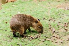 Ig Capybara hydrochoerus hydrochaeris in the zoo. Ig Capybara hydrochoerus hydrochaeris in the zoo Stock Photography