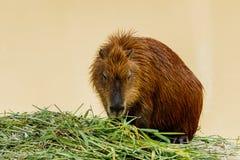 Ig kapibary hydrochoerus hydrochaeris w zoo Obrazy Stock