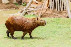Ig kapibary hydrochoerus hydrochaeris w zoo Zdjęcie Stock