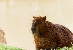 Ig kapibary hydrochoerus hydrochaeris w zoo Zdjęcia Royalty Free