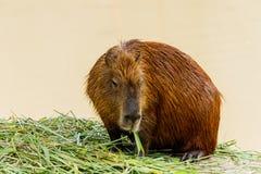 Ig kapibary hydrochoerus hydrochaeris w zoo Obraz Royalty Free