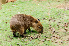 Ig kapibary hydrochoerus hydrochaeris w zoo Fotografia Stock