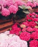 IGA Berlin. Hortensia, Pink, Botanics, Flowers stock photos