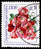 Iga Erfurt de Bergers Rosa, serie internacional de Rose Exhibition, cerca de 1972 fotografia de stock royalty free