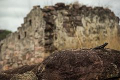 Lizard in front of a ruin in Igatu, Chapada Diamantina royalty free stock image