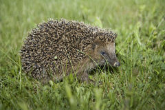 Igel stock images