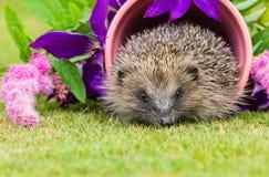 Igelkott inföding, lös igelkott inom en rosa växtkruka Royaltyfri Fotografi