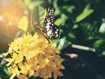 Iger Butterfly on yellow flower in garden Royalty Free Stock Images