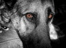 Iggi Black & White. My German Shepard, Iggi, one morning.  He has a very intense stare.  I thought I would leave the eyes in color and set the rest in black and Stock Photography