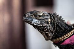 iggy Iguana με ένα ρόδινο μαντίλι στοκ εικόνες