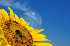 Ight bulb and sunflower Stock Image