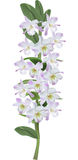 Ight lilac orchid flower branch Stock Image