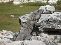 Igiana in Ruinen EL Rey Lizenzfreies Stockfoto