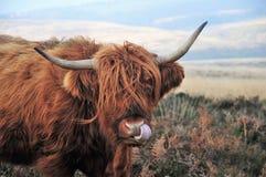 Igiene personale di una mucca scozzese dell'altopiano che vive sulla brughiera fotografia stock