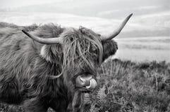 Igiene personale di una mucca scozzese dell'altopiano che vive sulla brughiera immagini stock libere da diritti