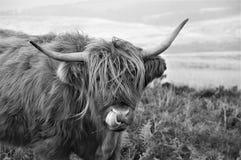 Igiene personale di una mucca scozzese dell'altopiano che vive sulla brughiera immagine stock libera da diritti