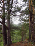 Iglaści drzewa na krawędzi przerwy góra Zdjęcie Stock