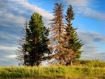 Iglaści drzewa przeciw niebieskiemu niebu Lato Krwawy Altay, Rosja Fotografia Stock