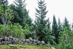 Iglaści icelandic drzewa Zdjęcie Royalty Free