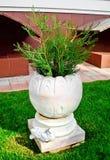 Iglasta roślina w dekoracyjnym garnku Zdjęcia Royalty Free