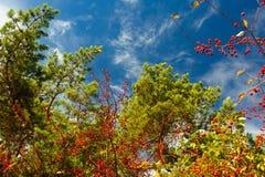 Iglaste gałąź i rowan jagody przeciw niebieskiemu niebu z lekkimi chmurami zdjęcie stock